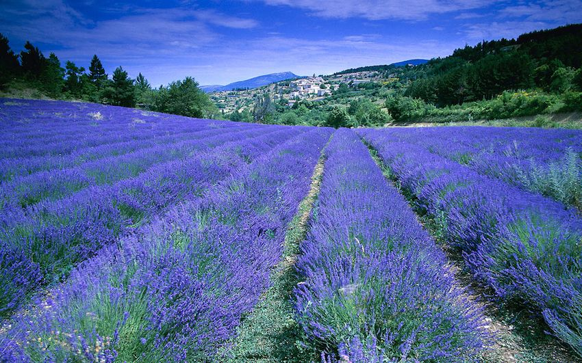 Champ de lavande, Provence-Alpes-Côte d'Azur, France (field of