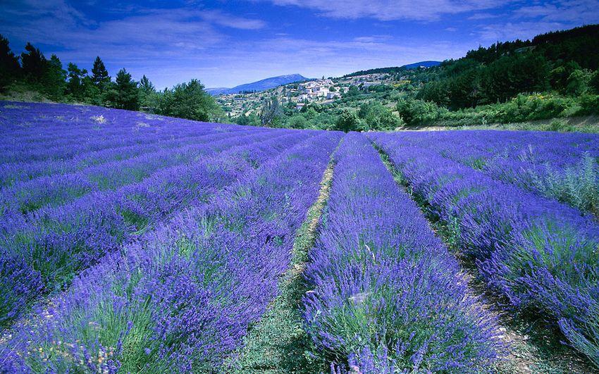 Champ de lavande, Provence-Alpes-Côte d'Azur, France (field of