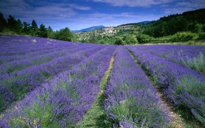 ôte d'Azur, France (field of lavender in Provence)