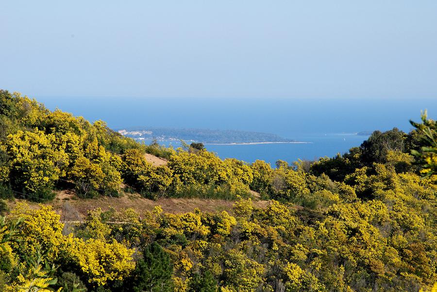 taneron-mimosa-ruta-provenza