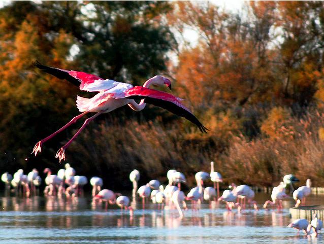 Los flamencos, elegantes y bellos, visitan todos los años la Camarge provenzal. Foto de Firenzesca Flickr.